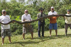 Bắt được trăn dài 5 m ở Florida