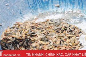 3,5 tấn tôm ở Lộc Hà bất ngờ chết trước ngày thu hoạch