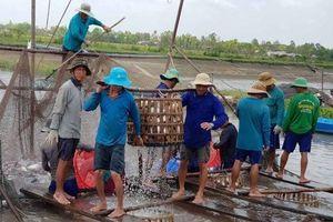 Nông dân đang rầu vì giá cá tra tụt thê thảm
