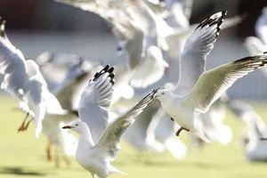 Chim mòng biển-nguồn lây nhiễm vi khuẩn kháng kháng sinh