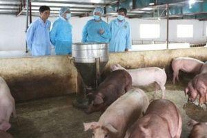 Chỉ còn tỉnh Ninh Thuận không có dịch tả lợn châu Phi