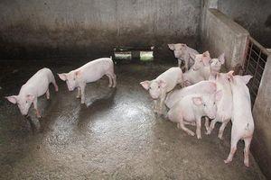 Hà Tĩnh: Nguy cơ bùng phát dịch tả lợn châu Phi từ lợn giống