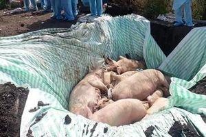 Kiên Giang chọn thí điểm mô hình phòng, chống dịch tả lợn châu Phi