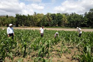 Sâu keo tấn công cây bắp ở Phú Yên