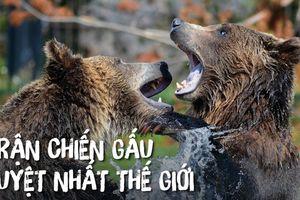Hồi hộp xem cận cảnh gấu nâu đại chiến