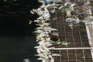 Sông Tô Lịch nước đen, xuất hiện cá chết dạt vào bờ khi dừng xả nước hồ Tây