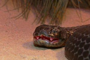 Ghê sợ những loài rắn giết người trong nháy mắt