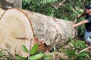 Rừng ở Gia Lai tiếp tục bị cưa hạ trái phép