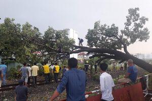 Gián đoạn giao thông vì cây to ngã chắn đường sắt Bắc - Nam