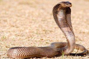 Chuyện nổi tiếng 'dựng tóc gáy' về rắn hổ mang Ai Cập