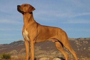 Chó săn sư tử châu Phi, nguồn gốc và đặc điểm
