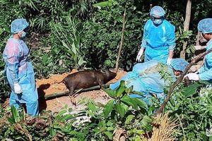 Quế Phong: Dịch tả lợn châu Phi lây lan phức tạp, khó kiểm soát