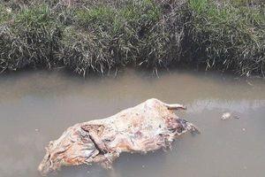 Hãi hùng xác lợn chết trôi đầy kênh mương giữa tâm dịch tả lợn Châu Phi