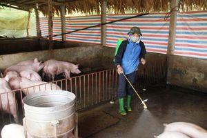 Yên Bái: Đảm bảo môi trường trong chôn lấp, tiêu hủy lợn mắc dịch tả lợn châu Phi