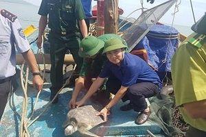 Hà Tĩnh: Thả rùa biển quý hiếm nặng gần 20 kg về đại dương