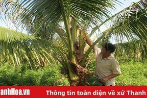 Triển vọng từ mô hình trồng dừa xiêm