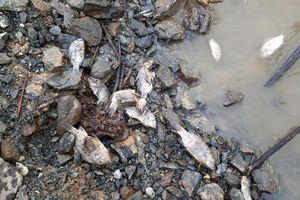 Cá chết xếp lớp, người nuôi cá lồng bè ở lòng hồ thủy điện hoang mang