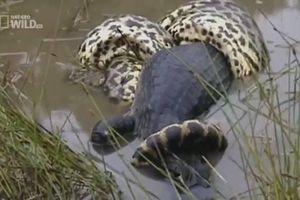 Mải đuổi theo con mồi, cá sấu caiman bị trăn khổng lồ nuốt chửng