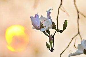 Đến Điện Biên ngắm hoa ban - Loài hoa trắng tinh khôi, ngát hương thơm của núi rừng Tây Bắc