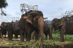 Sự thật về thông tin voi Đà Lạt bị ngược đãi