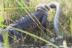 Trận chiến quyết liệt giữa cá sấu và trăn Miến Điện khổng lồ