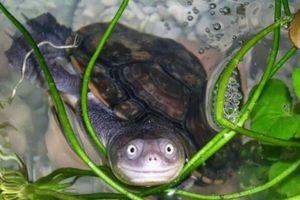 Chương trình quốc gia bảo tồn các loài rùa nguy cấp của Việt Nam
