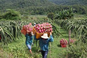 Giá thanh long tăng mạnh, thương hiệu thanh long Bình Thuận được hàng chục nước bảo hộ