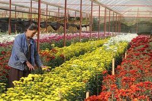 Dịch bệnh tàn phá hàng trăm ha hoa cúc tại Đà Lạt