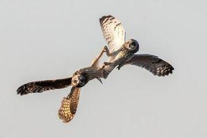 Màn không chiến đỉnh cao của chim cú, như máy bay chiến đấu