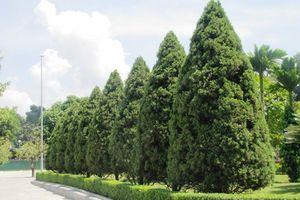 Sự thật bất ngờ cây tùng tháp trồng nhiều ở Việt Nam