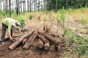 Khai quật 400 lóng gỗ thông, phát hiện thủ đoạn mới triệt hạ rừng