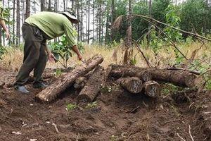 Phát hiện gần 400 khúc gỗ chôn lấp trên khu rừng mới bị phá