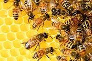 Úc phát triển loại vắc xin mới chống dị ứng nọc ong