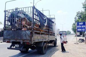 Quảng Ngãi đã có 8/14 huyện có dịch tả lợn châu Phi