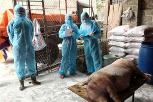 35% số hộ chăn nuôi lợn của Hà Nội mắc dịch tả châu Phi
