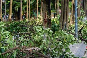 Lý do chuyển 100 cây hoa sữa lên bãi rác Nam Sơn