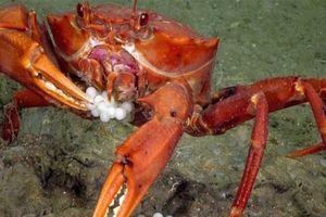 Cua ngấu nghiến ăn gọn ổ trứng cá bống biển