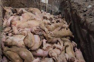 Đồng Nai tiêu hủy gần 110.000 con heo vì dịch tả Châu Phi