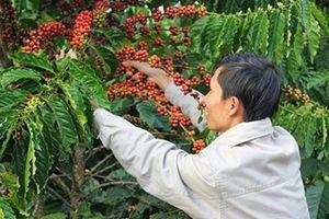 Cà phê Việt: Khi nào hết 'đội sổ'?