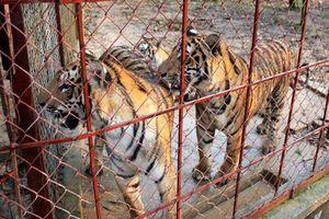 Trà trộn động vật hoang dã vào các trại nuôi để kinh doanh trái phép