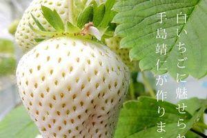 Sửng sốt trước giá thành 1 quả dâu tây 'Ngọc trắng' ở Nhật Bản