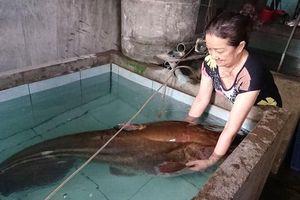 Cần thủ câu được cá leo 'khủng' nặng gần 1 tạ trên sông Krông Ana ở Đắk Lắk