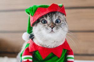 Cô mèo giữ kỷ lục Guinness, giúp chủ kiếm từ 8.000 USD/post trên mạng