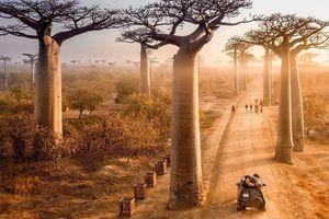 Kỳ lạ đại lộ 'cây lộn ngược' như đường dẫn tới hành tinh khác