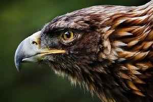 Top 10 pha săn mồi tuyệt đỉnh của đại bàng