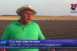 Rực rỡ cánh đồng hoa oải hương ở Tây Ban Nha