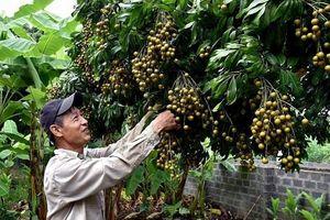 Sơn La: Xuất khẩu 30% sản lượng nhãn