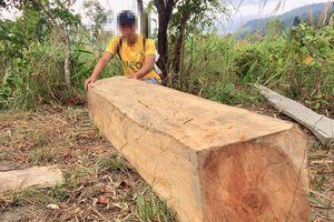 Nhiều cây gỗ lớn bị đốn hạ trong rừng sâu ở Gia Lai
