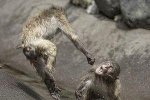 Ảnh hiếm: Khỉ tuyết tung người đánh nhau như võ sĩ