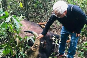 Bò tót nặng 800 kg chết trong khu bảo tồn